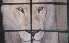 Lioness in a Cage
