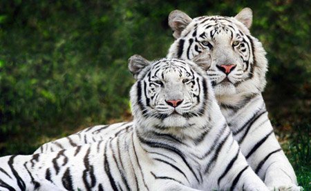 Image of Tigers
