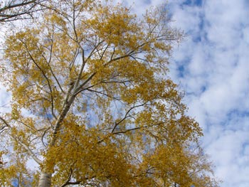 Poplar against the sky