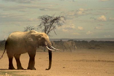 ---1988--- Elephant-in-savanna