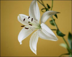 photo of a white lily
