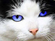 a bright blue color for the cats eyes