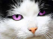 a violet color for the cats eyes