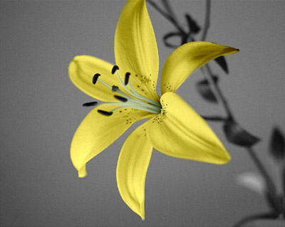 Yellow lily in the grey background
