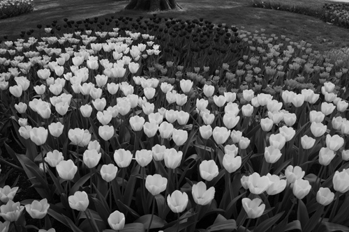 Black and White Photo of Flower Beds