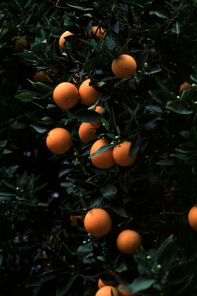 Photo of an orange-tree