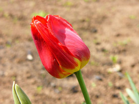 Photo of a tulip