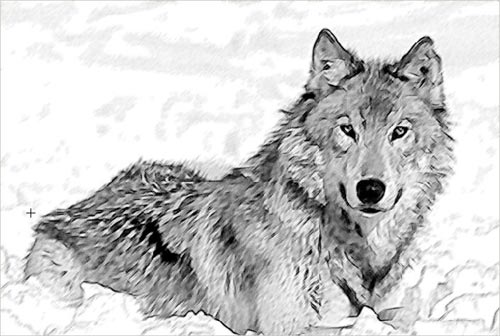 black and white wolf drawings. Pencil drawing