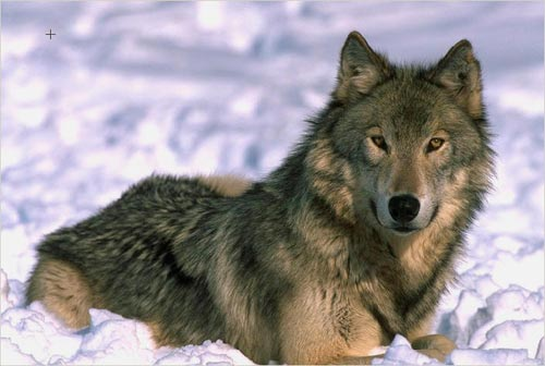 The color photo of a wolf