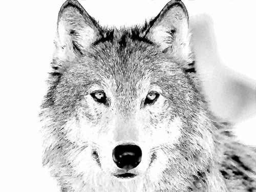 Pencil sketch of a wolf