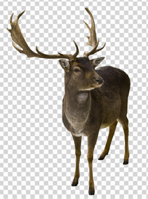 Deer on a Transparent Background